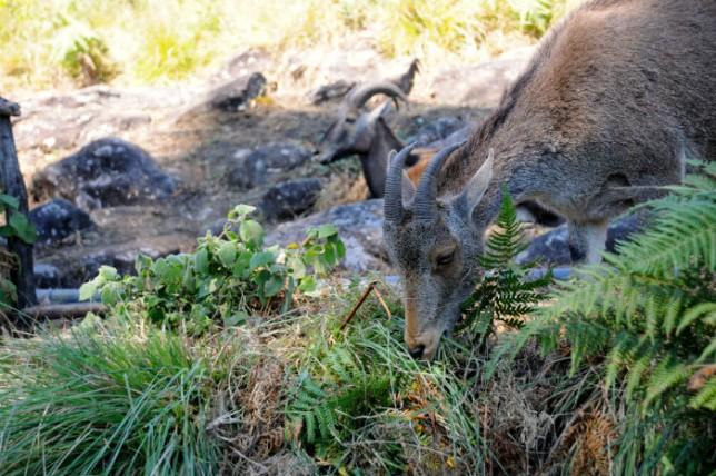 The now endangered Nilgiri tahr at Eravikulam National Park.   Photo Courtesy: Jessica Nambudiri