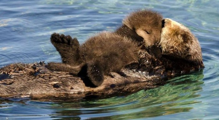 Picture-of-the-Day-Sea-Otter-Pup-Sleeps-on-Top-of-Its-Mom-420462-3