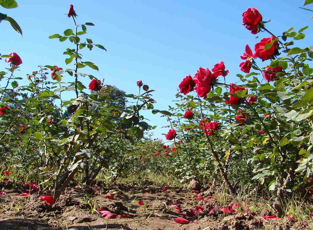 A rose garden. Pic Source: Wikipedia